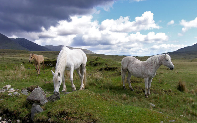Monthly Connemara Pony Sale